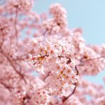 Kansai Cherry Blossoms – The best time viewing in the last ten years